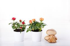 Two miniature rose plant stock photos