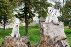 Two miniature schnauzer. Mother and daughter sitting on stump Royalty Free Stock Images