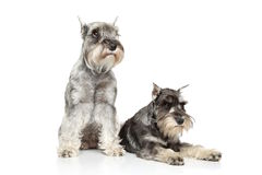 Two Miniature schnauzer on white background stock images