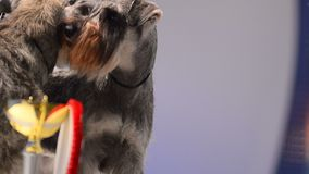 Two miniature schnauzers with champion cup. International dog show stock video footage