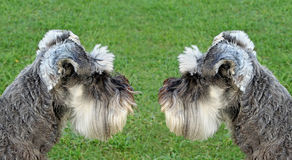 Two miniature schnauzers Royalty Free Stock Images