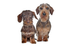 Two miniature Wire-haired dachshund dogs. In front of a white background royalty free stock photo