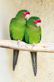 Two Mitred Parakeet Royalty Free Stock Photography