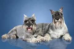 Two mittelschnauzer lying on a blue background stock images
