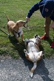 Two mix breed small dogs out on a dog walk Stock Images