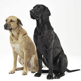 Two mixed breed  brown dog sitting in a white backgound studio Stock Photo