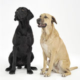 Two mixed breed  brown dog sitting in a white backgound studio Stock Images