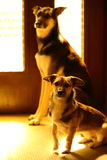 Two mixed breed dogs. Waiting in front of the door to go outside. Back lit Stock Photos