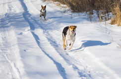 Two mixed breed dogs chasing each other on a country road Stock Photos