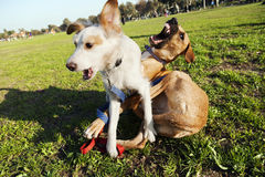 Two Dogs Playing in Park Stock Images