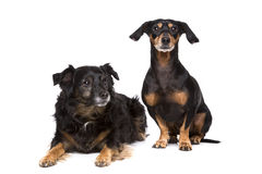 Two mixed breed dogs Stock Photo