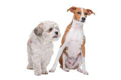 Two mixed breed dogs in front of a white background. Mix shih tzu and maltese and a mix podenco dog in front of a white background Stock Images