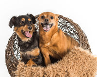 Two mixed breed dogs posing for pet portraits. Rat terrier and mini dachshund. Two mixed breed dogs posing for pet portraits. Sitting in wicker basket with Stock Photos
