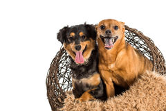 Two mixed breed dogs posing for pet portraits. Rat terrier and mini dachshund Royalty Free Stock Photography