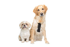 Two mixed breed dogs Stock Image