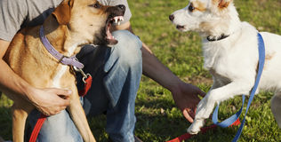 Two Dogs and Trainer Playing in Park stock photography
