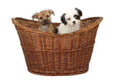 Two Mixed Breed Puppies in a Basket Stock Images
