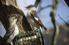 Two Mockingbirds Fighting Stock Photo