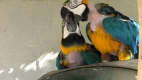 Two molting parrots playing. Pair of molting blue and yellow macaw parrots playing with their beaks stock video