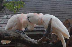 Two Moluccan Cockatoos nibbling Stock Photography