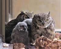 Two Moms and Two Baby Owls. Two female co-nesting owls raising two owlets on an office ledge in Reno, Nevada Stock Image