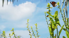 Two Monarch Butterflies around the plants stock footage