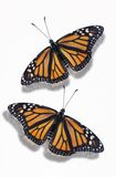 Two Monarch Butterflies Royalty Free Stock Images