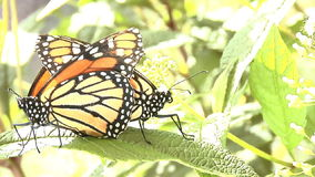 Two Monarch butterflies. End to end on leaf mating stock footage