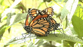 Two Monarch butterflies end to end on leaf mating stock video