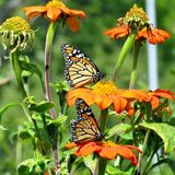 Toronto Lake two Monarch butterflies and red daisies 2017. Two Monarch butterflies and flowers in garden on bank of the Lake Ontario in Toronto, Canada royalty free stock photography