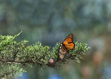Two monarch butterflies mating in a tree royalty free stock photography