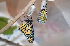 Two monarch butterflies newly hatched royalty free stock images