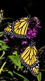 Two Monarch Butterflies On Buddleia