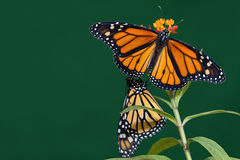 Two monarch butterflies are perched on a flower Stock Images