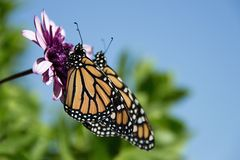 Two monarch butterflies are perched on a flower Stock Photo