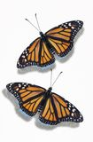 Two Monarch Butterflies Stock Photography