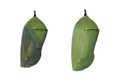 Two monarch butterfly chrysalises. With one day difference in development, the left one nearly ready for eclosion as wings are showing through the shell Stock Photo