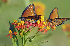 Two Monarchs on Flower Royalty Free Stock Image