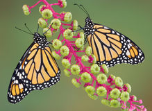 Two monarchs on poke weed. Two newly emerged monarchs (one male and one female) are sitting on poke weed Stock Image