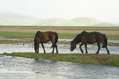 Two mongolian horses. Stock Image