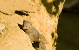 Two Mongoose Royalty Free Stock Photo