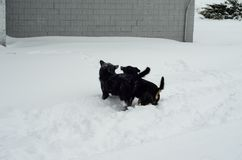 Two mongrel dogs playing in a snow Stock Images