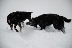 Two mongrel dogs playing in a snow Stock Photos