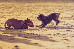 Two mongrel dogs playing together on beach. Playful animals, pets outside concept. Two mongrel dogs playing together on sandy beach. Outdoor shot on sunny day stock photos
