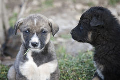 Two mongrel puppy. Gray and black Royalty Free Stock Image