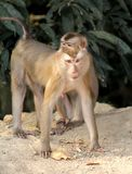 Two monkey Royalty Free Stock Photography