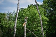 Monkey climbing on the tree. stock photos