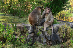 Two Monkey Royalty Free Stock Photo