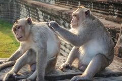 Two Monkey Find a tick at Angkor Wat stock images