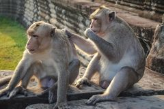 Two Monkey Find a tick and look at the camera and eat ticks at the camera at Angkor Wat stock photo